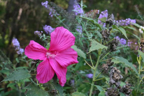 hibiscusbutterflybush