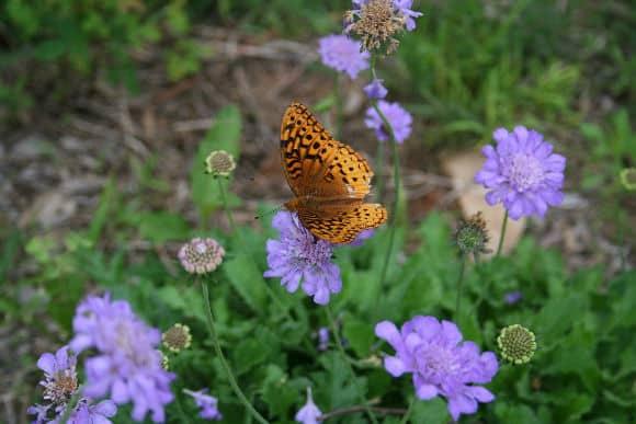butterflybluescabiosa
