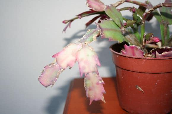 Christmas Cactus In Bloom €� Home Garden Joy