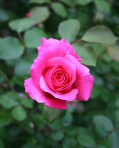 dream weaver rose photo