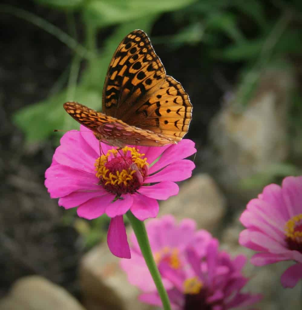 brown-butterfly-on-zinnia