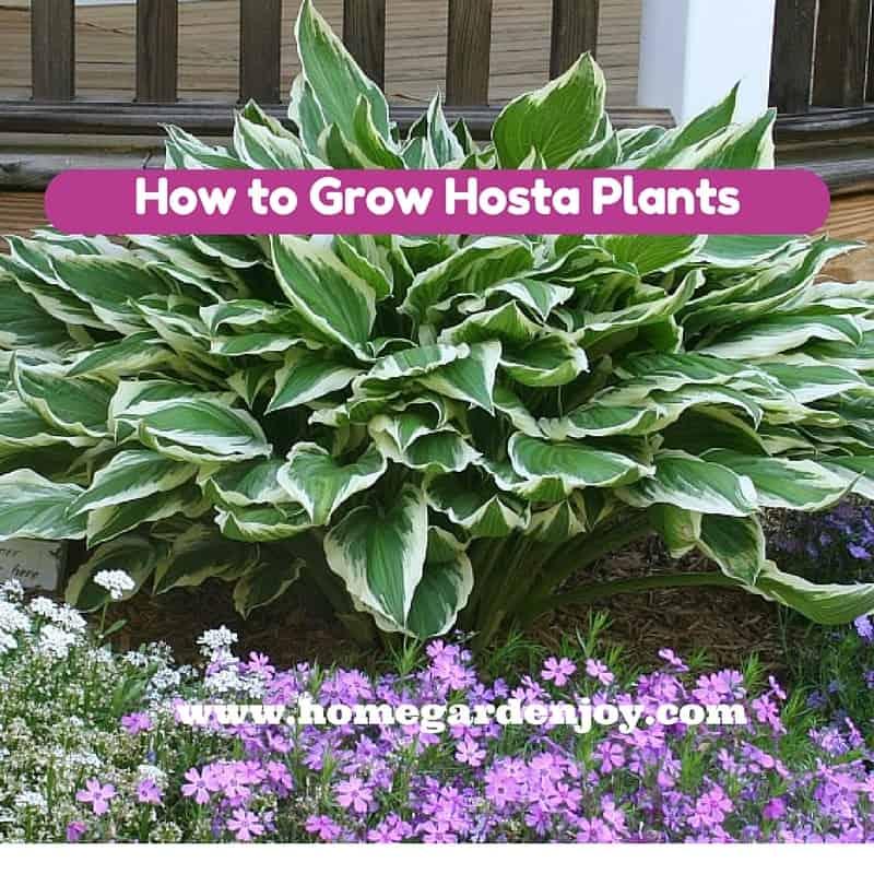 Growing hosta home garden joy for Easy to grow outdoor plants