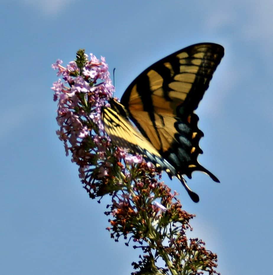butterflybluesky