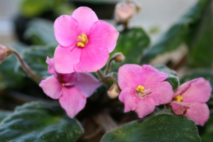 African violets easy care house plants home garden joy for Violet home