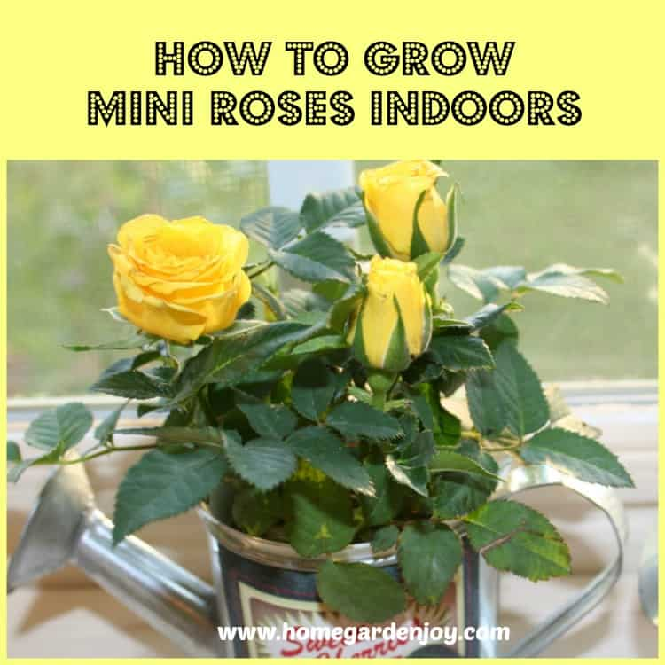 How To Grow Mini Roses Indoors Home Garden Joy