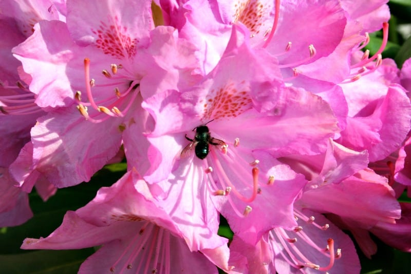 bee on rhododendron 1