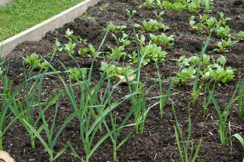 garlic and beets