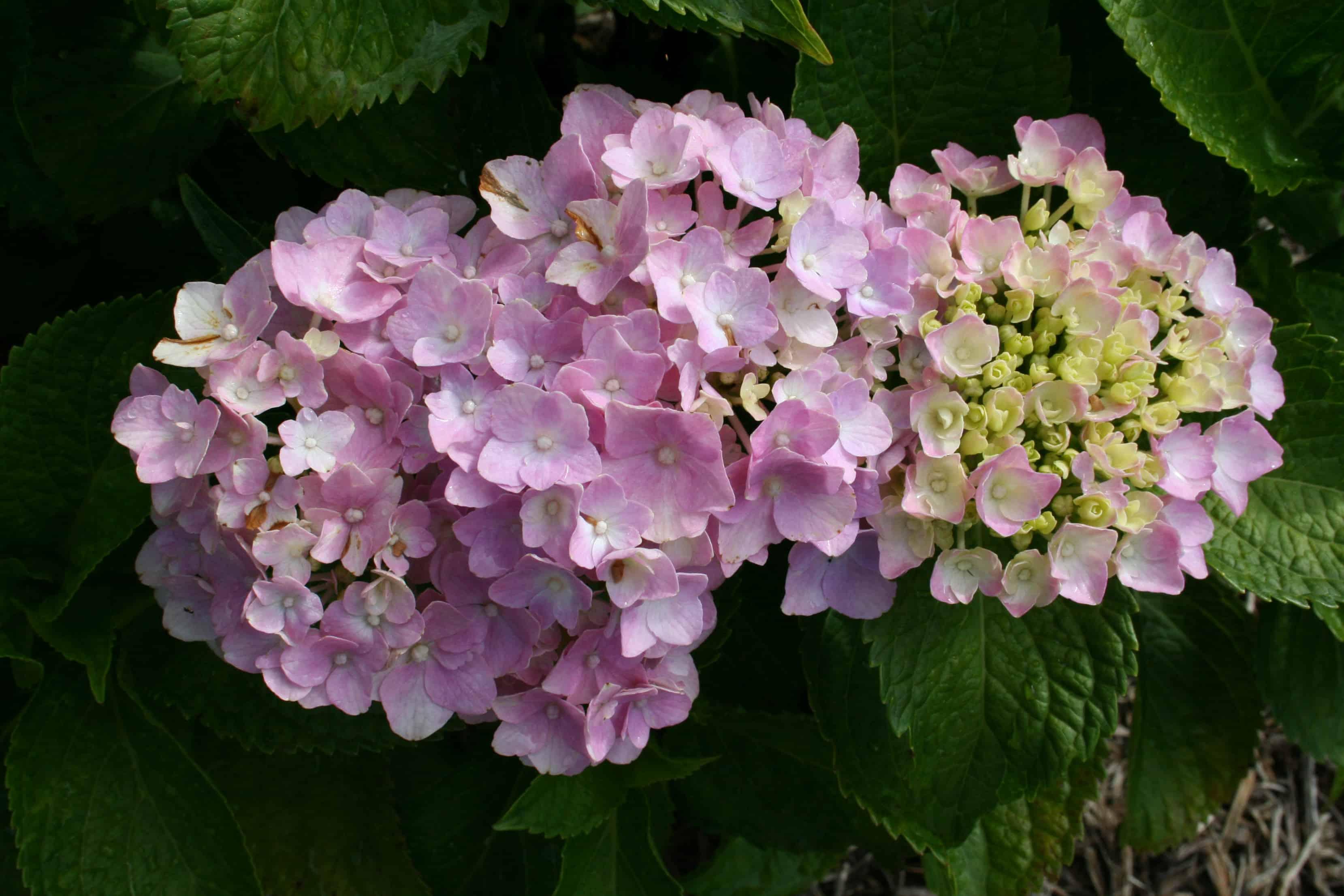 Hydrangea care archives home garden joy - Caring hydrangea garden ...