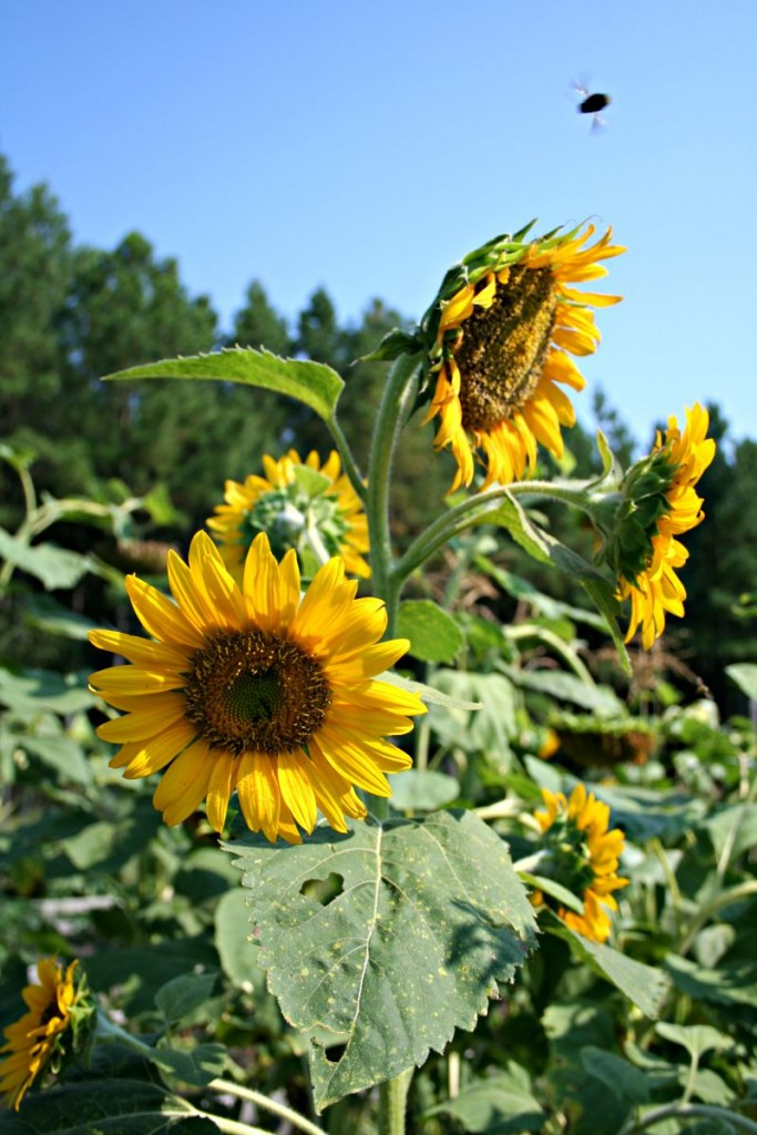 sunflowers and bee