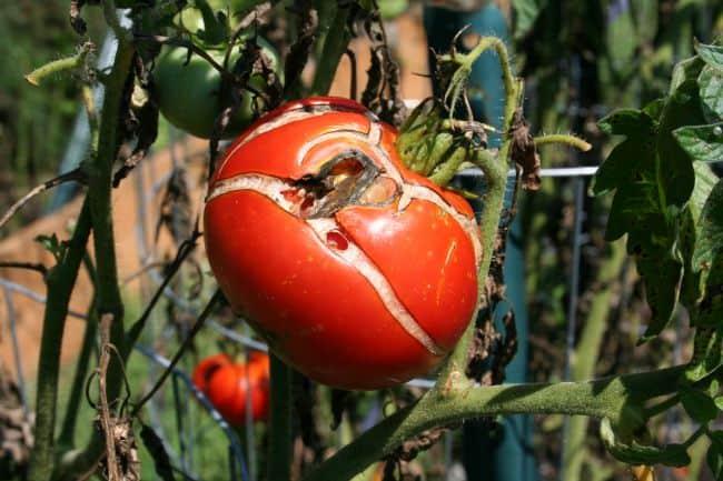 cracked tomato 1