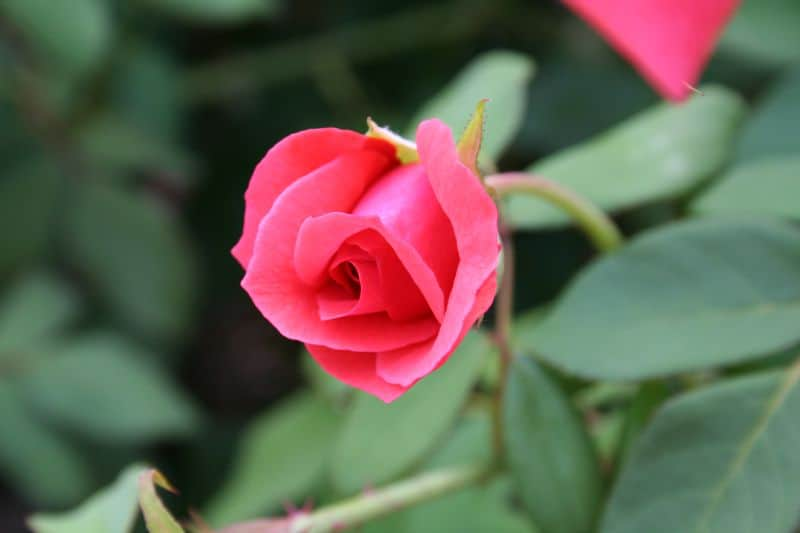 rose Maymont