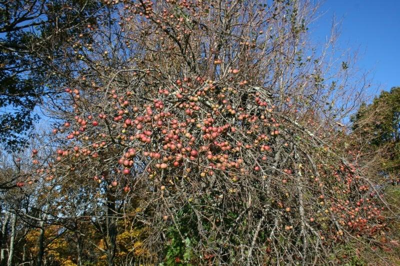 apple tree on trail