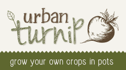 urban turnip