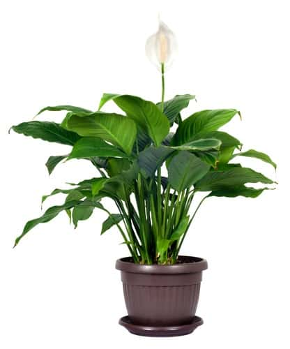 houseplant spathiphyllum floribundum peace lily white flower isolated on white background