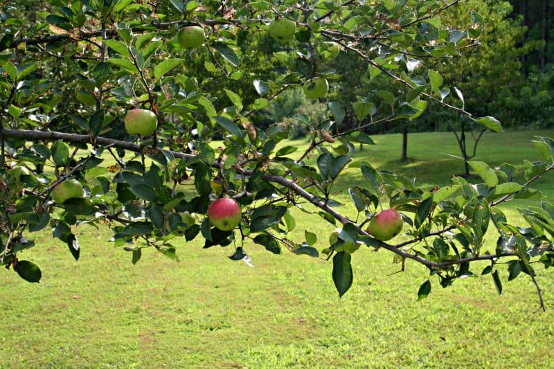 What Fruit Trees Can I Plant? - Home Garden Joy