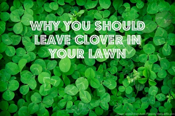 clover in the lawn