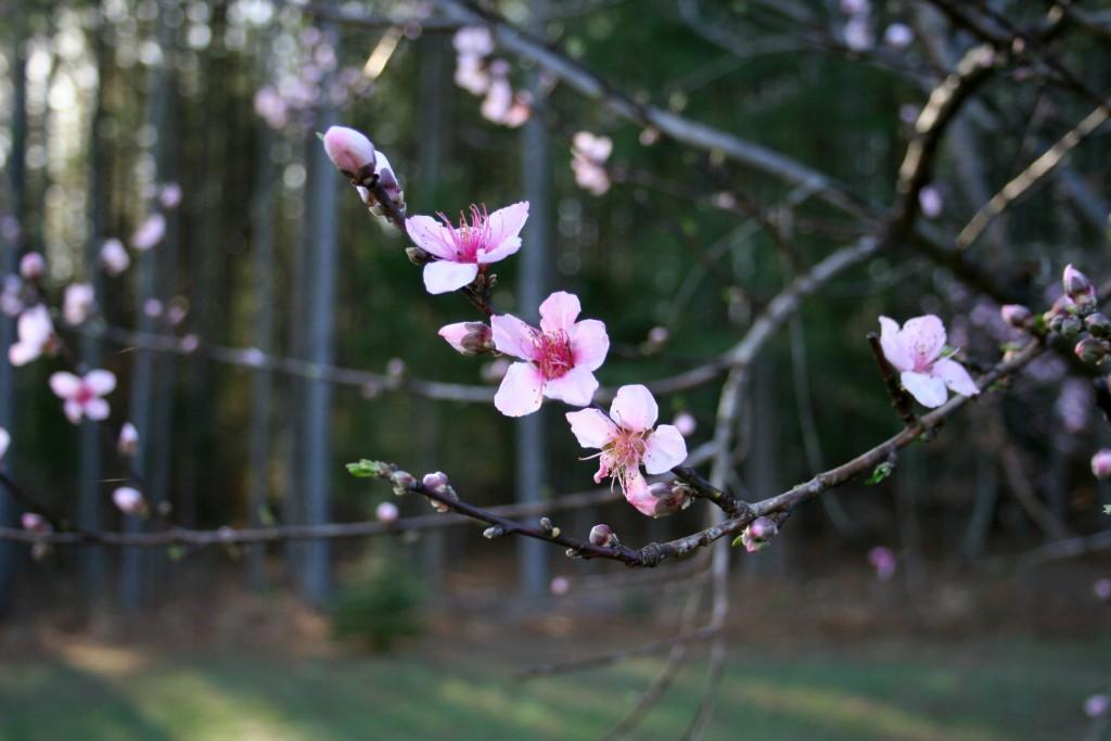 peach tree branch flowers