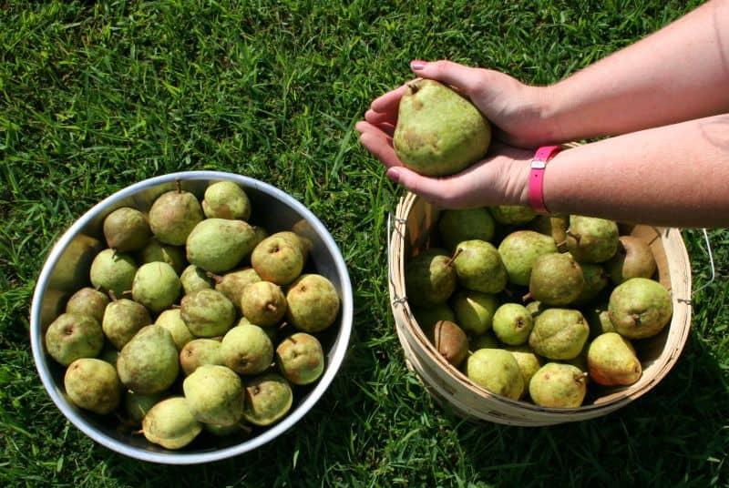 pear harvest 2015