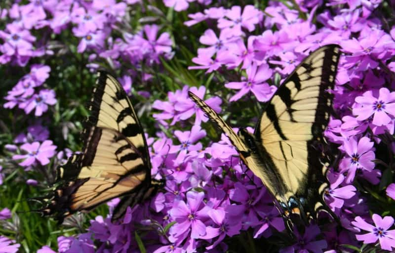 butterflies on phlox