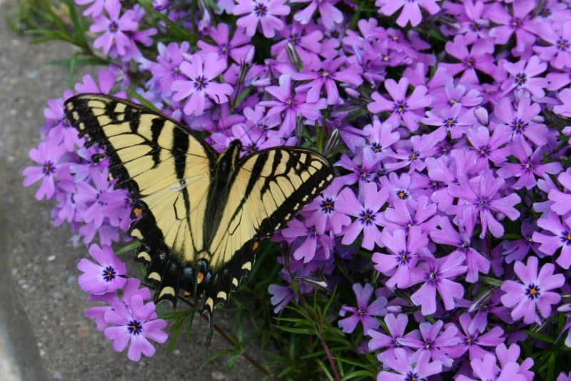 phlox for butterflies