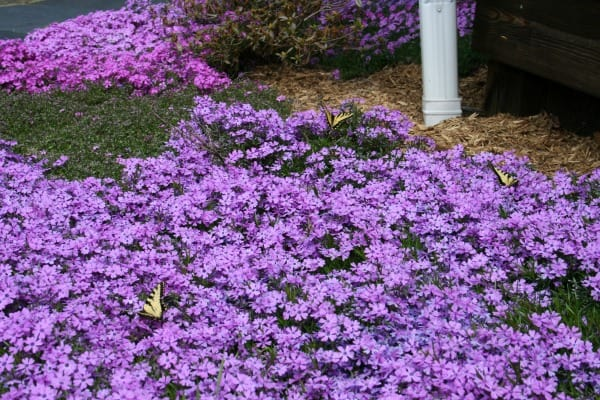 creeping phlox and butterflies