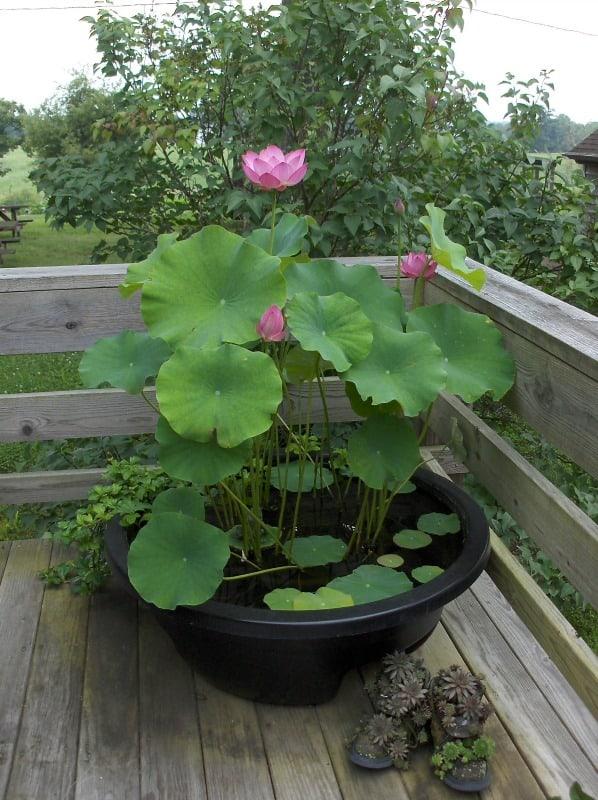 water lotus_Liz Dunn 2