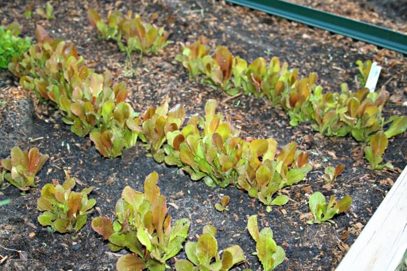 rouge d hiver lettuce