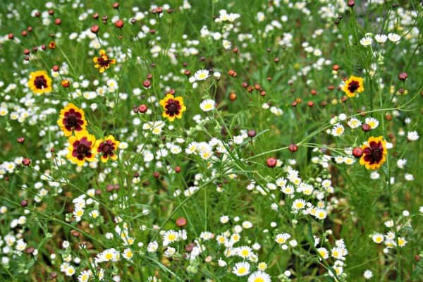 coreopsis and ox eye daisy