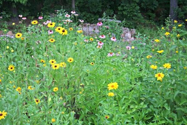 daisies rudbeckoa echinacea