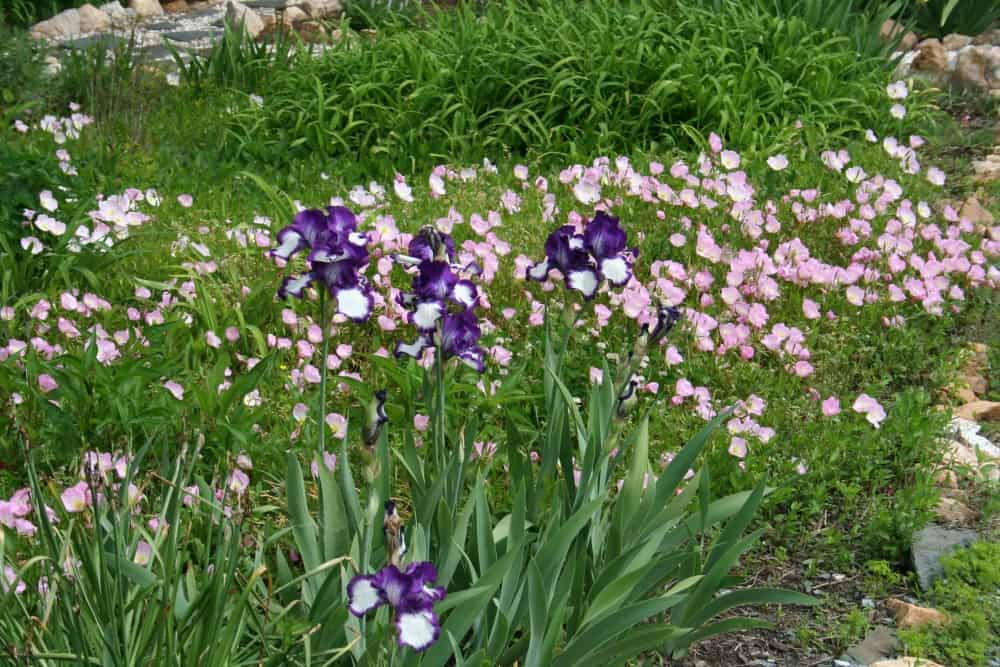 iris and missouri primrose