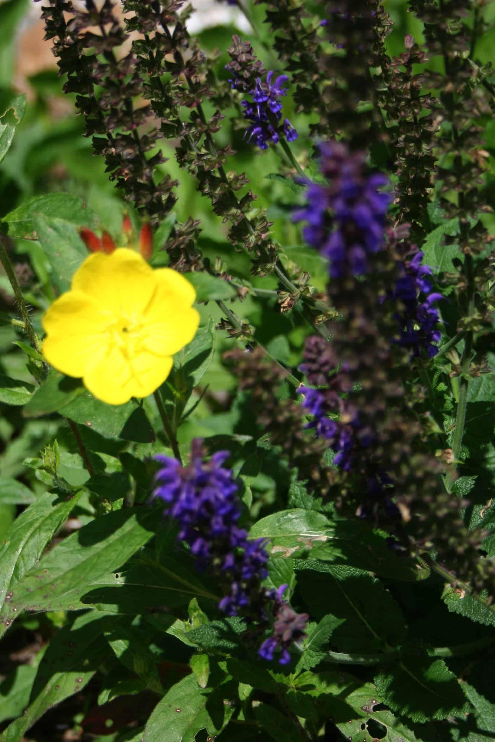 yellow primrose and salvia