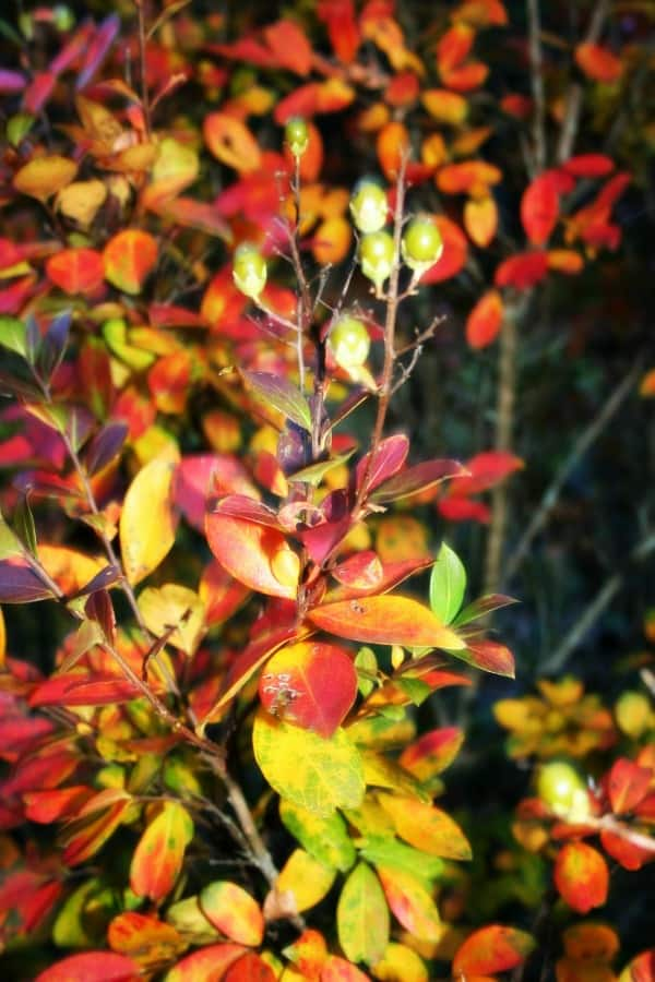 fall crepe myrtle color