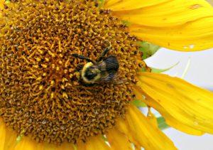 sunflower bee pollination