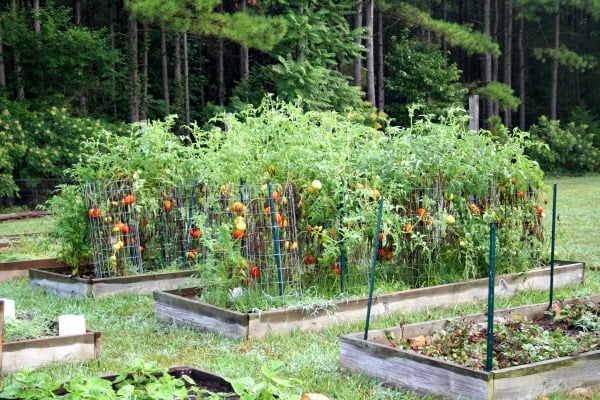 tomatoes in the raised bed garden