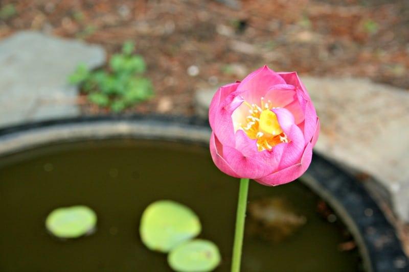 water-lotus-blooming