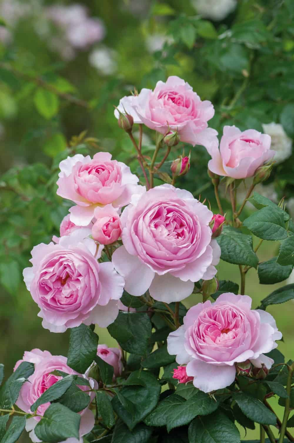 new david austin english roses for 2017: ready for their close-ups