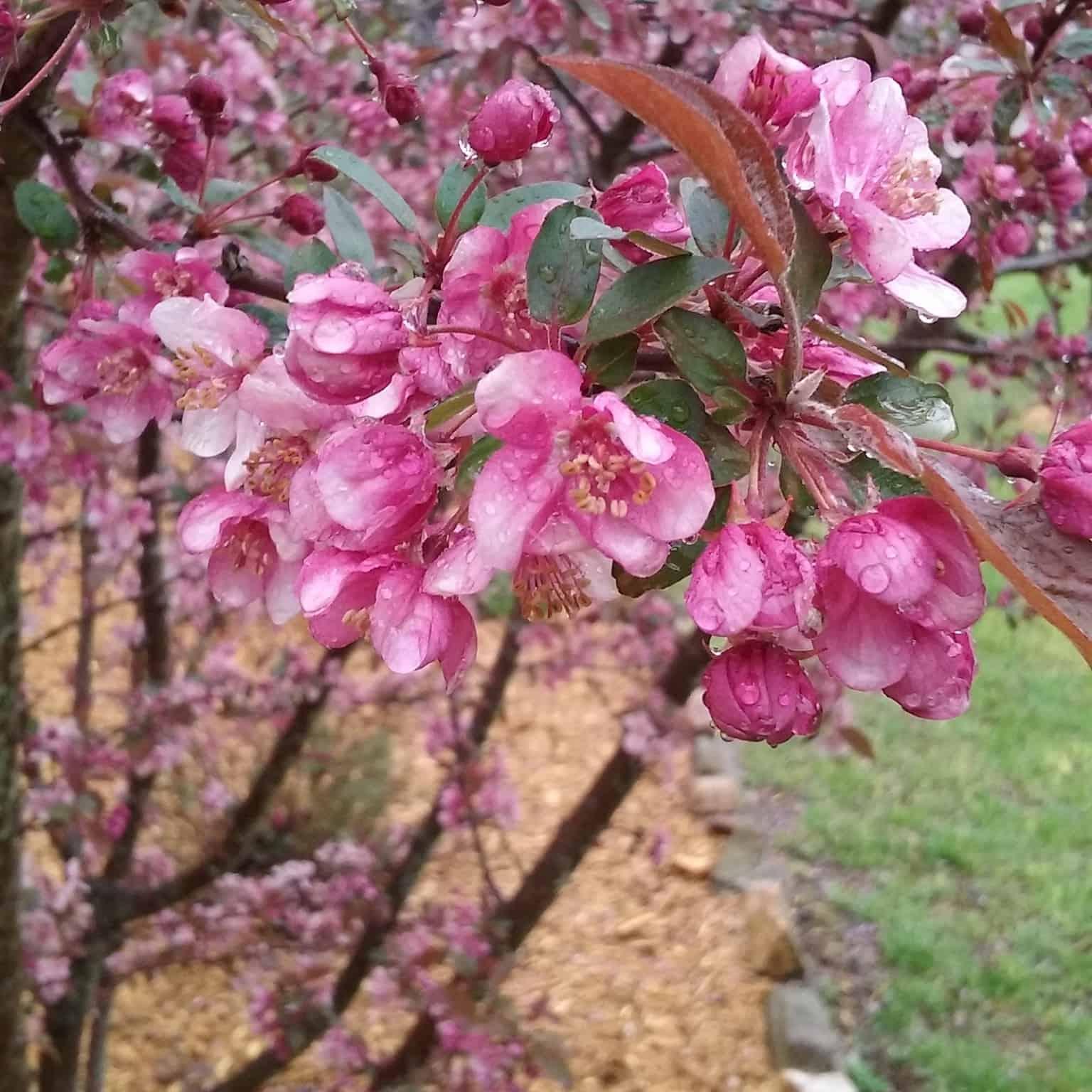 Springtime in Bloom: Redbuds and Crabapples