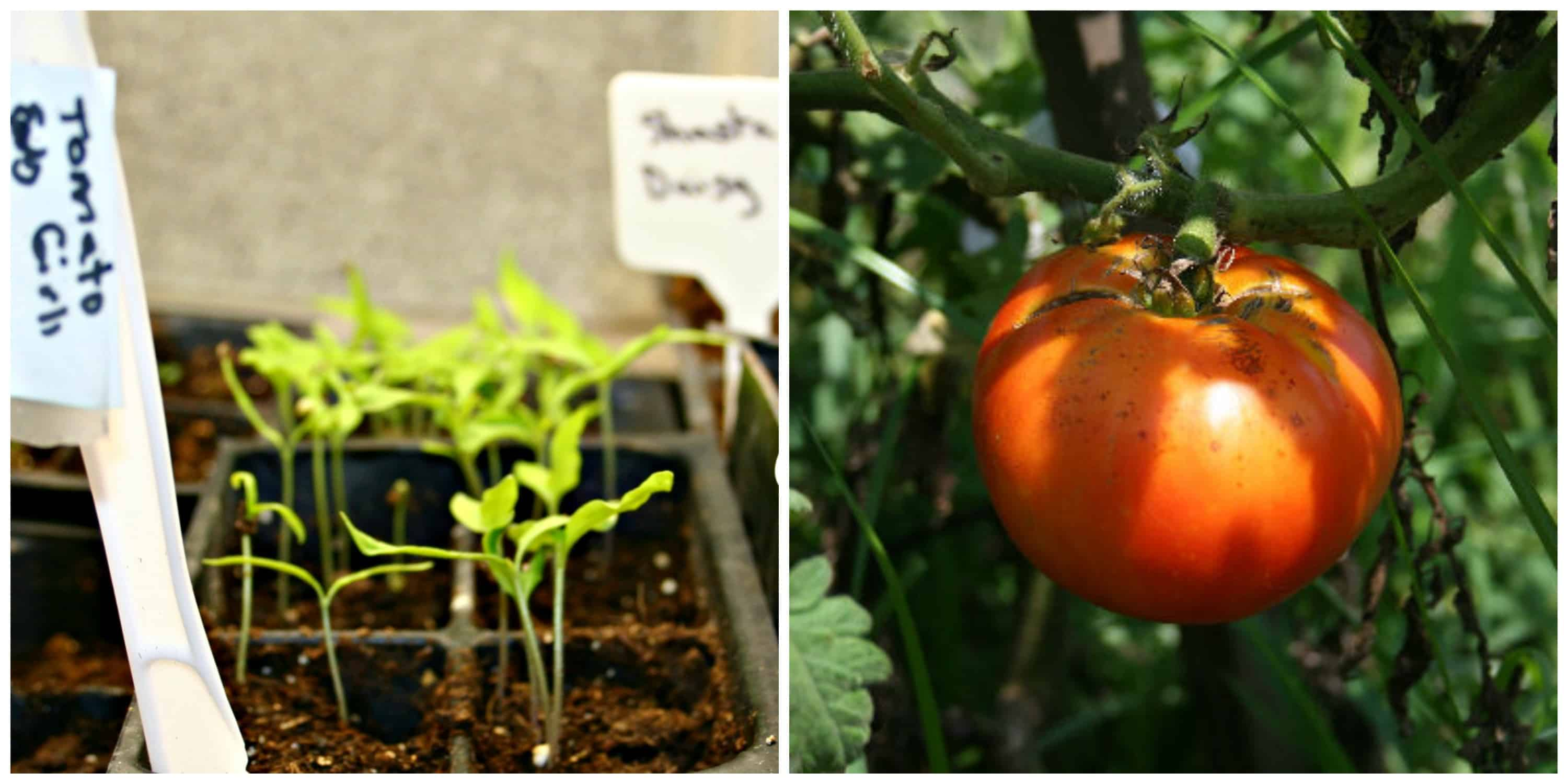 Should You Start Your Container Vegetable Garden with Seeds or Plants?