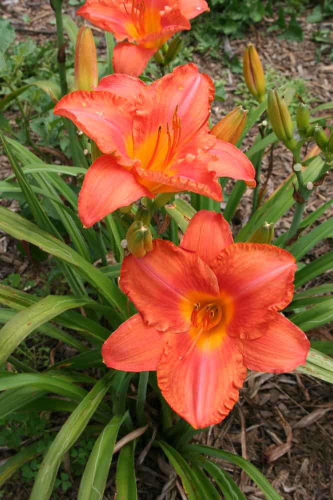 Garden Travel: A Visit to Deb's Daylilies and the Daylily Festival