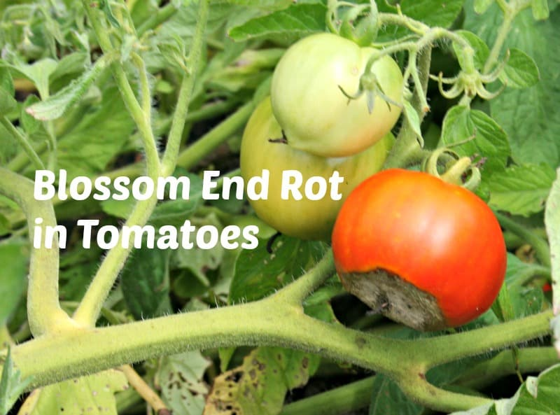 blossom end rot in tomatoes