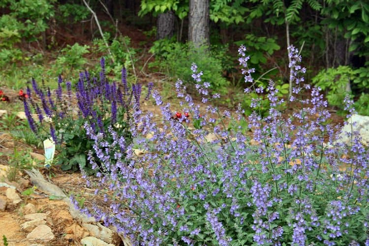 My Butterfly Garden In Early Spring. Catmint Is In The Foreground, Salvia  In The Back.