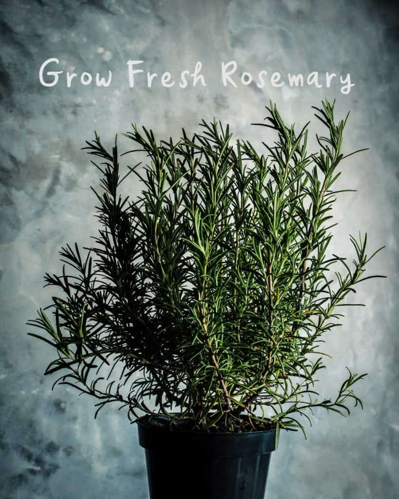 a picture of a rosemary plant in a pot