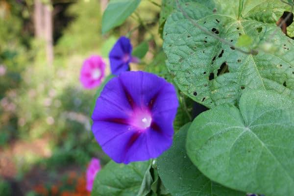 Morning glory holes in foliage