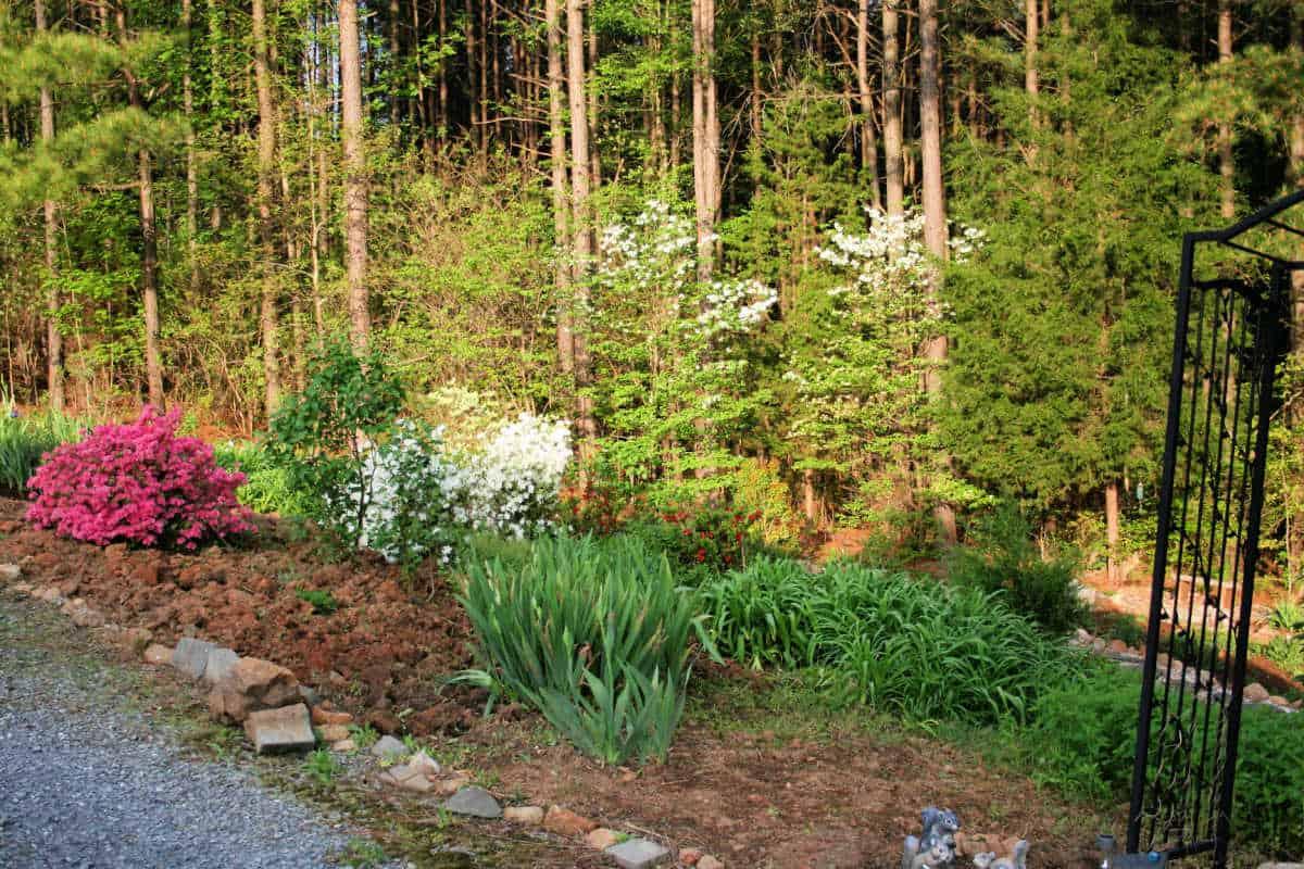 azaleas in a garden along a driveway