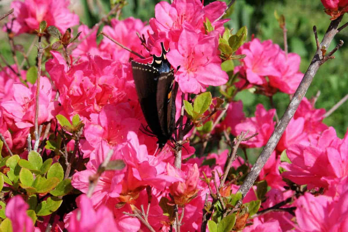 a black butterfly on a pink azalea bush