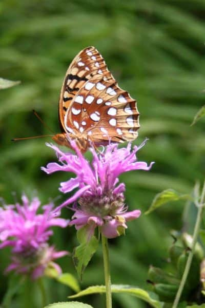 a photo to illustrate how native perennial flowers attract butterflies