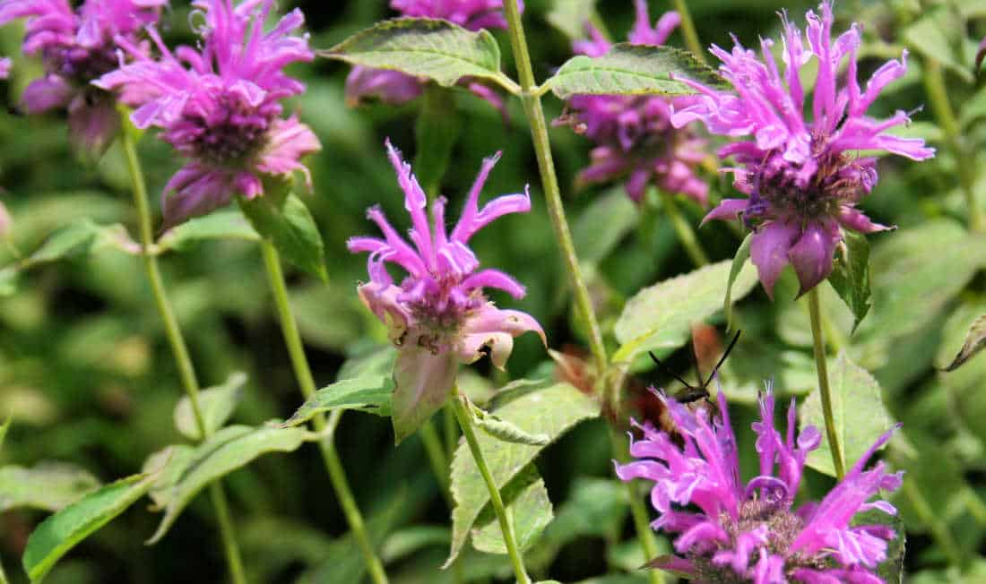 native perennial flower picture - bee balm