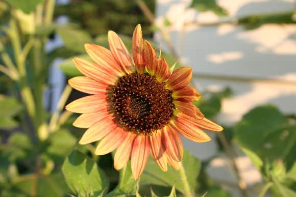 bronzesunflower