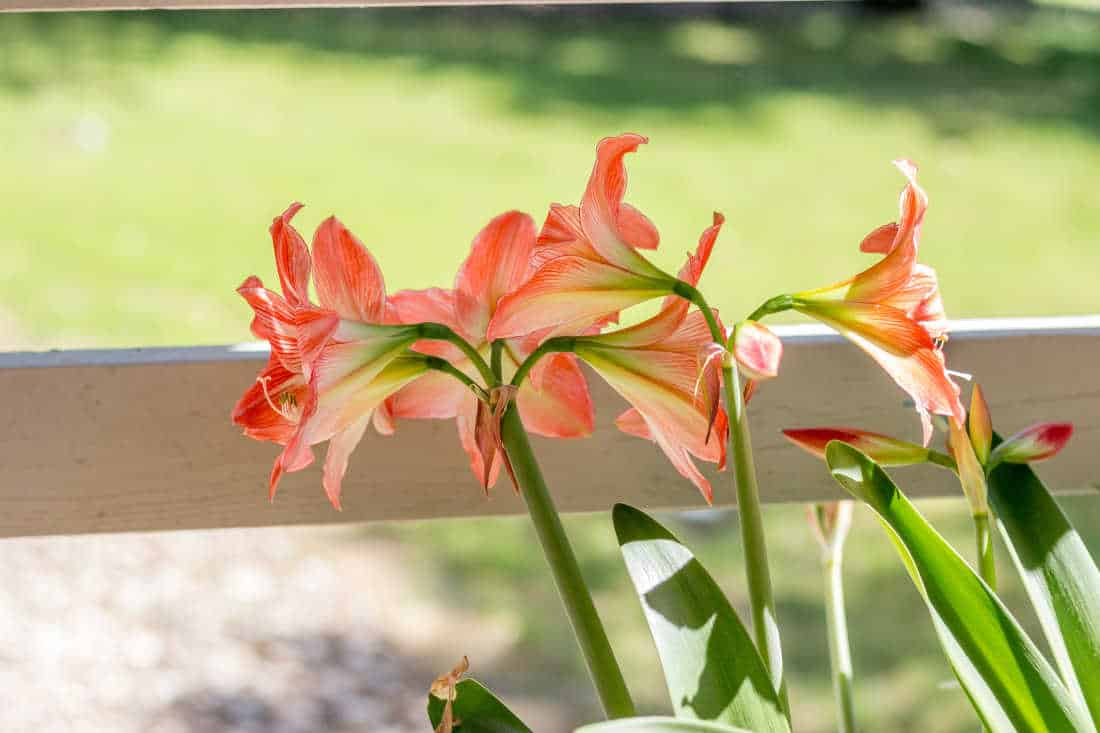 a picture of growing amaryllis