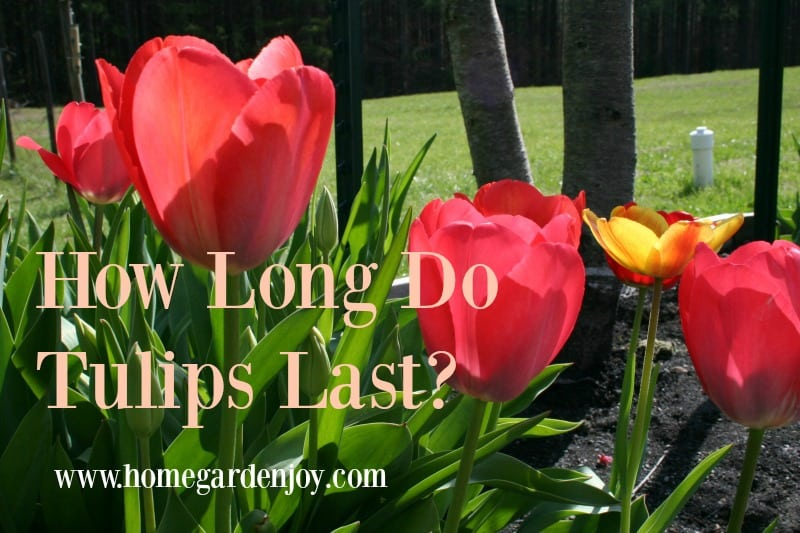 How Long Do Tulips Last Home Garden Joy